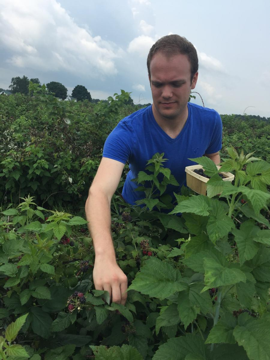 Matt picks black raspberries at Stokes Berry Farm, summer 2015, Wilmington, Ohio