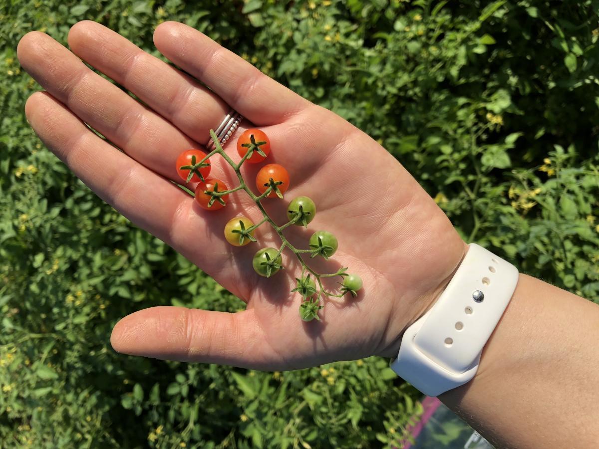 Pretty (Solanum) pimpinellifolium
